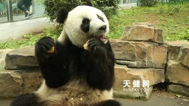 中秋节,大熊猫吃上月饼、大闸蟹