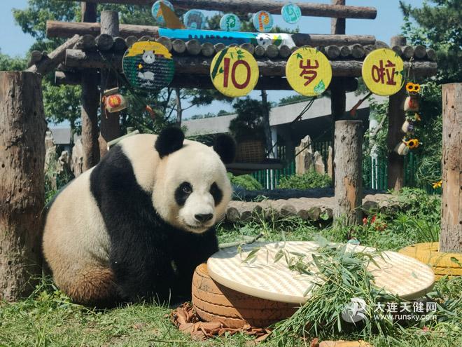 """大连森林动物园大熊猫""""金虎""""10岁啦"""