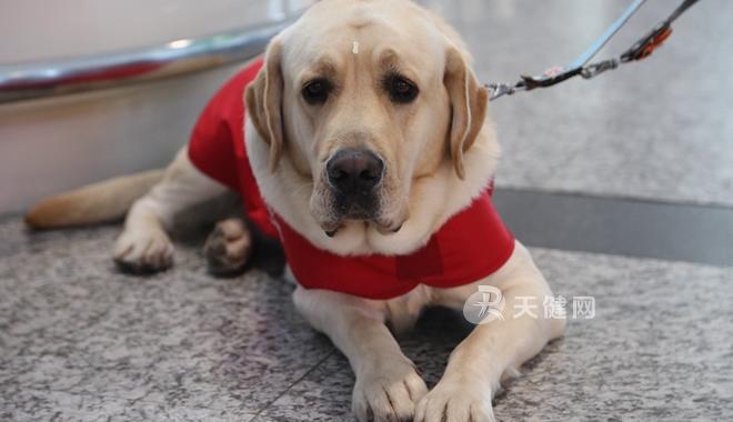 携带导盲犬如何坐飞机? 同机旅客有什么注意事项?