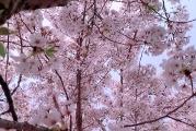 2021旅顺樱花节启幕